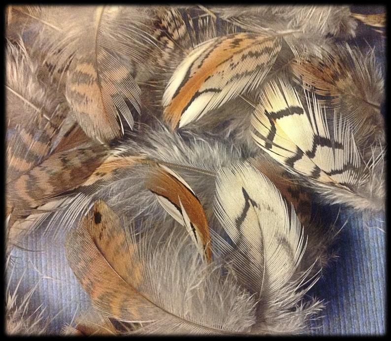 50 Bobwhite quail body feathers 3/4