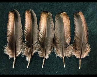 5 - black iridescent turkey feathers from Kansas Rio Grande wild turkeys
