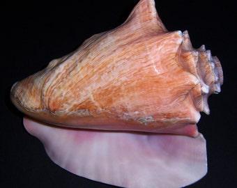 Queen Conch Shell Horn
