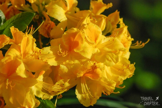 Yellow Rhododendron Flower Photography Garden Wall Art Fine Etsy