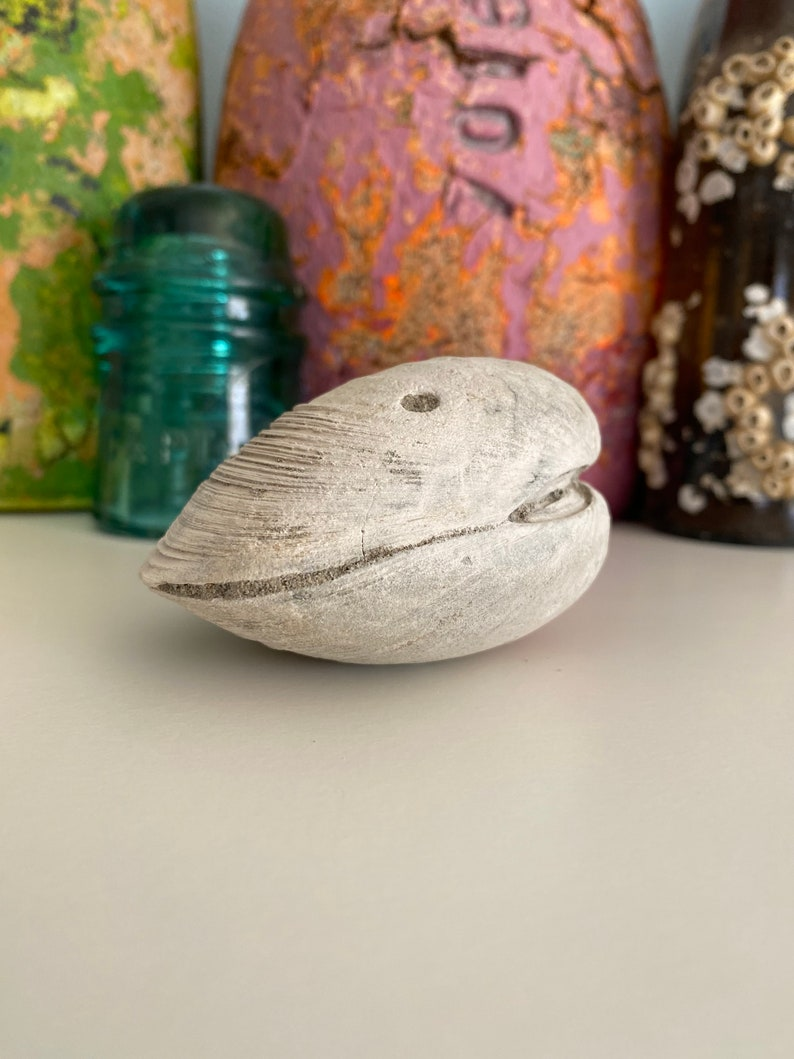 Fossilized Clam Shell with Ecphora Bore Hole from Calvert Cliffs Maryland