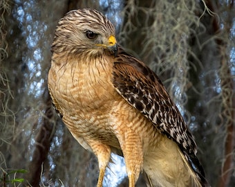 Hawk, Red shouldered Hawk Gathering for the Nest (RSH 100)