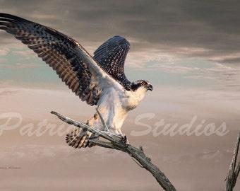 Osprey: Juvenile Osprey Spreading its Wings