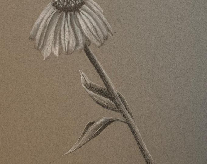 Coneflower pencil drawing
