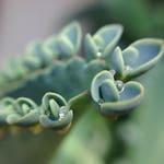12 Baby Succulents | Succulents | Mother Of Millions | Live Succulents | Plant Babies | Kalanchoe | Small Baby Plants | Live Plants