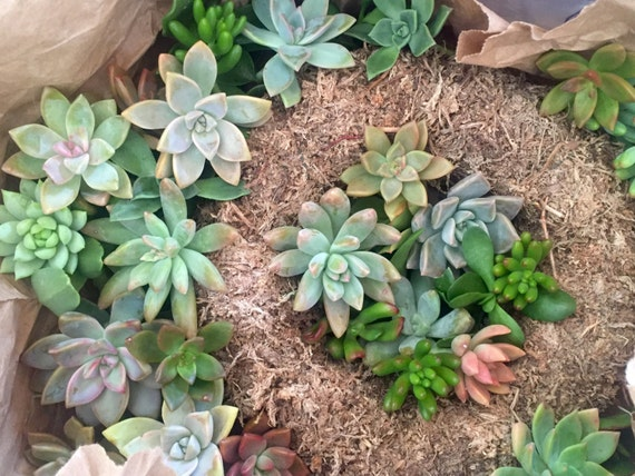 DIY Kit 15 Rd. Succulent Wreath Frame with cuttings &