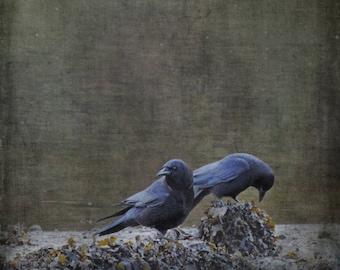 Fine art crow photograph. Raven, blackbird, crow bird photography. Moody dark goth colors. Blackbirds at the Beach