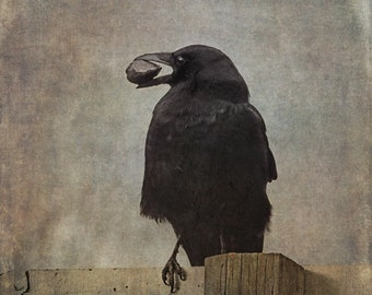 Fine art crow photograph. Bird photography. Moody earth tone colors, blackbird, wall art. Beware of Crows