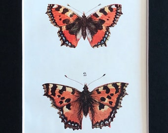 1910-Book Plate-Illustration-Natural History-Print-Butterfly-Moth-Collection-Matted-Home-Victorian-Edwardian- decor
