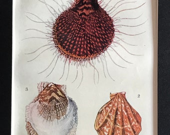 Original-1907-Book Plate-Matted-Natural History-Ocean-Sea Shore-Sea Shell-Scallop-Beach-Beach House-Home-Bathroom decor