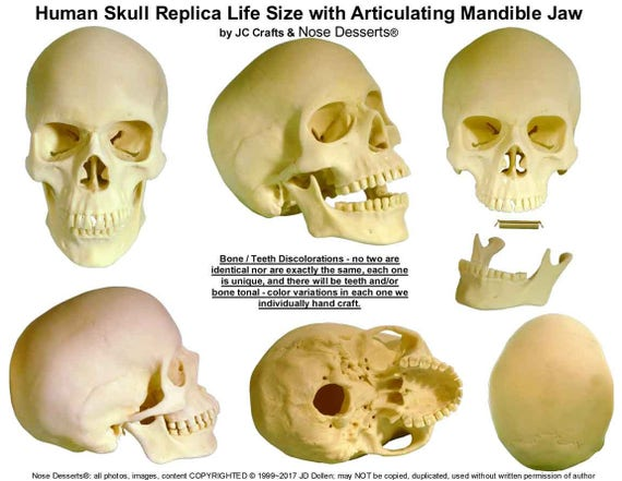 il_570xN.1411043846_ovaf human skull replica life size with articulating mandible jaw etsy