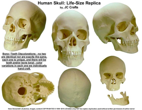 Realistic Human Skull Model Anatomical Medical Skeleton Halloween Yellow