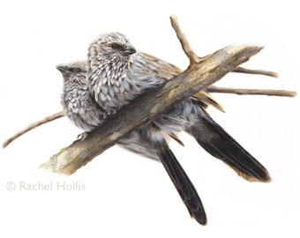 A3 Apostlebirds - Bird Print - Australian Bird Art