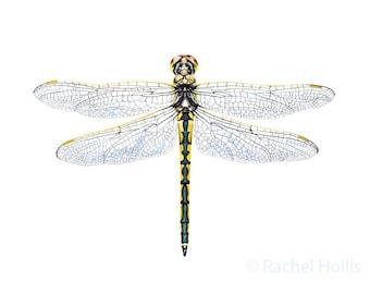 Libelle Druck 5 x 7 - Insekten - australische Tierwelt Print - Libelle Druckkunst
