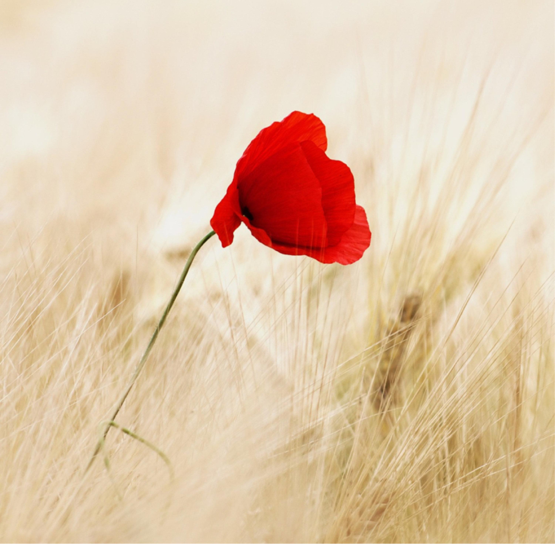 Beautiful Red Poppy Flower In A Wheat Field Design Wooden Coaster