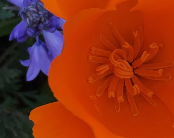 Flower Photo Art, Prints or Cards, California Poppy