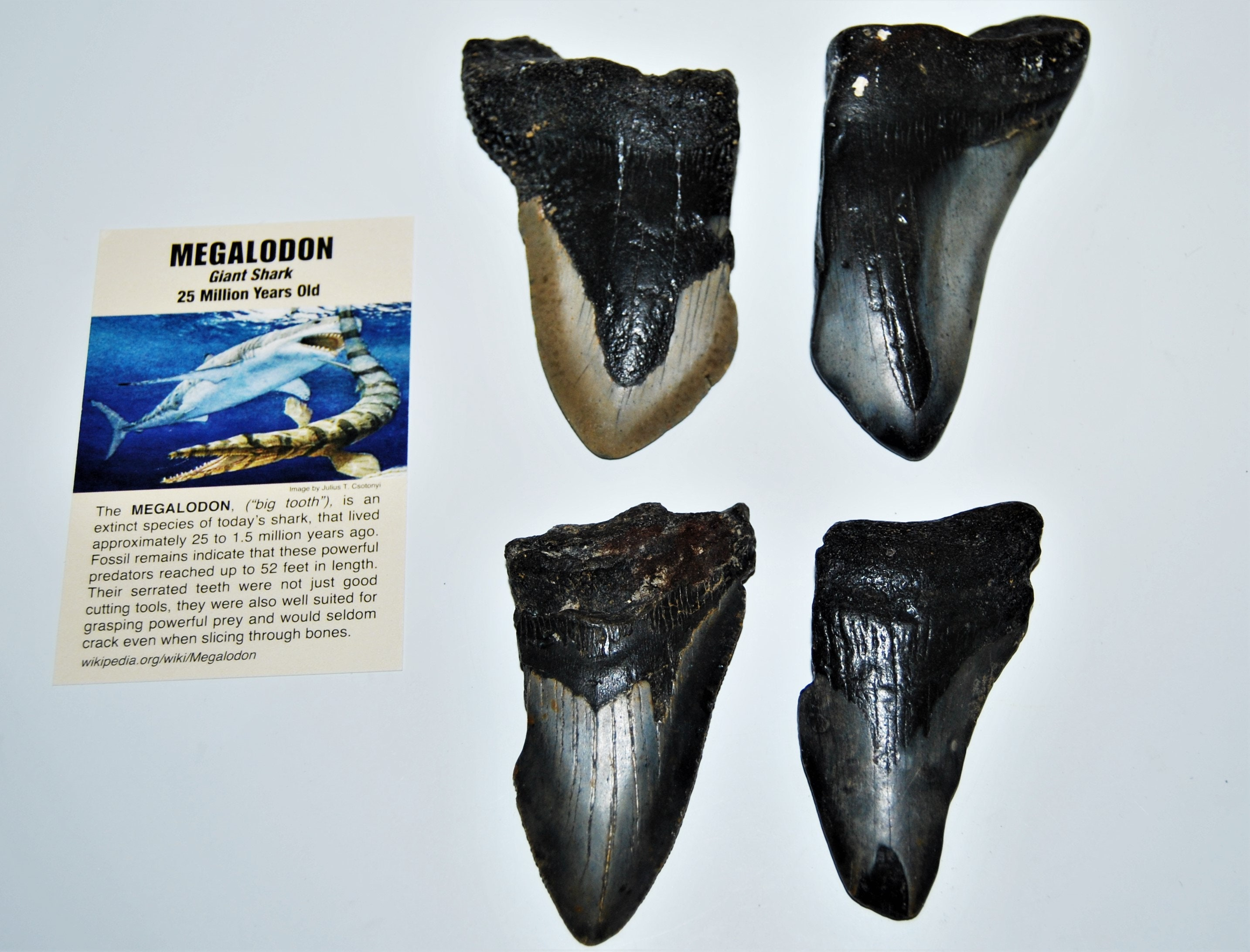 Fossils MEGALODON Tooth Fossil Extinct Shark Metal Display Label