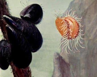 1920 Antique MOLLUSC SHELL print, vintage mussels  bivalve engraving, clams Scallop sea marine life, rare mollusk shells invertebrate.