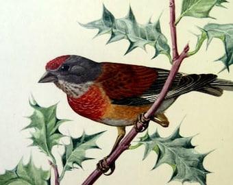 Antique nice  common linnet bird lithograph, 1955 original  bird antique color  print,  vintage european  tree  engraving plate.