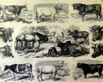 Antique ENGRAVING of different species of cattle BREEDS, 1859 original vintage farm animals print, cows and bulls bullock calf illustration.