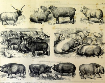 Antique PRINT of different species of Pigs and sheeps, original vintage farm animals cattle breed engraving home decor illustration.