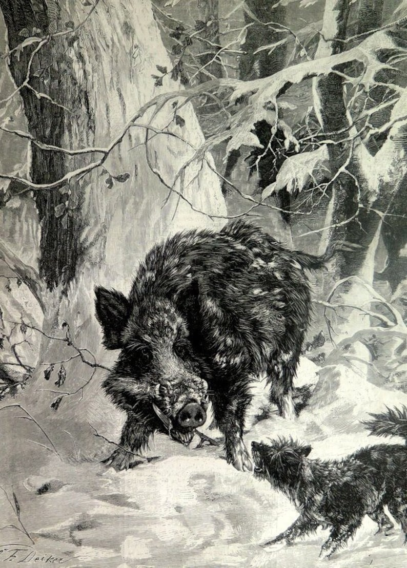 Gorgeous colossal wild boar and dog engraving, 1883 french wild pig print,  original big sizes plate, vintage BOARD tusk wood illustration
