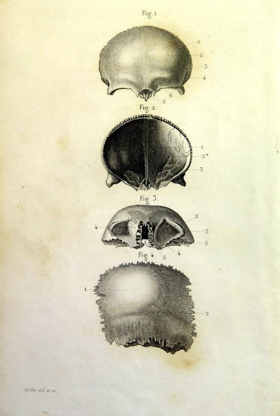 Anatomy Bones Engraving 1846 Cranial Print Oddity Curious Etsy