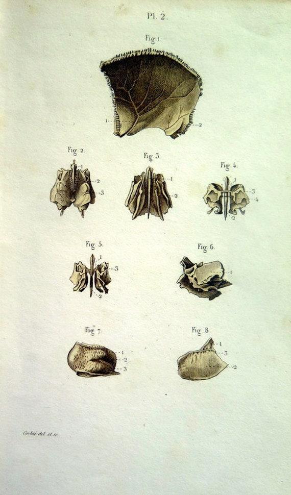 1852 antike Anatomie Druck Schädel Abschnitt Gravur Jahrgang
