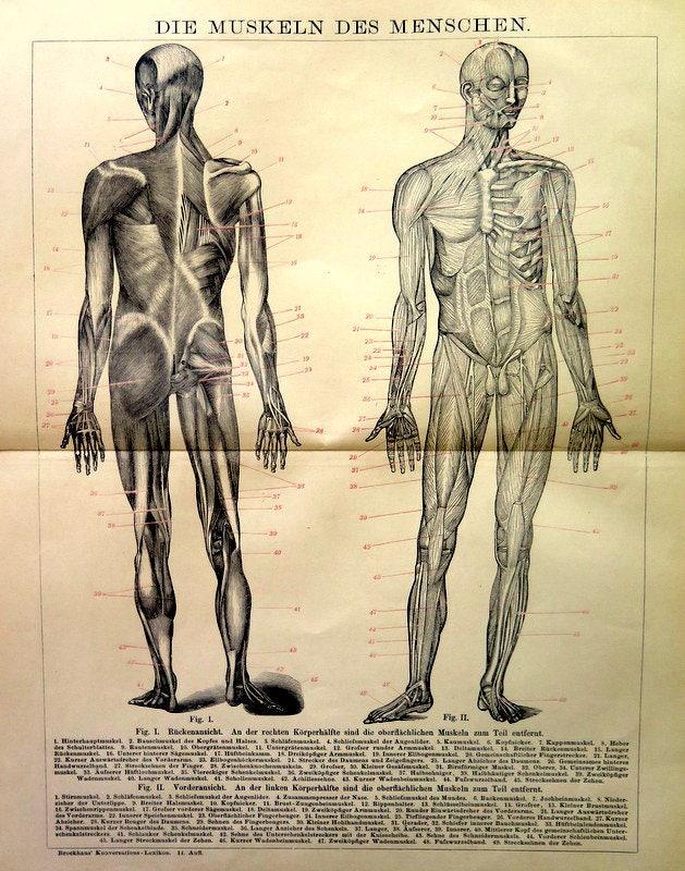 Antike menschliche Anatomie zu drucken 1898 Muskulatur | Etsy