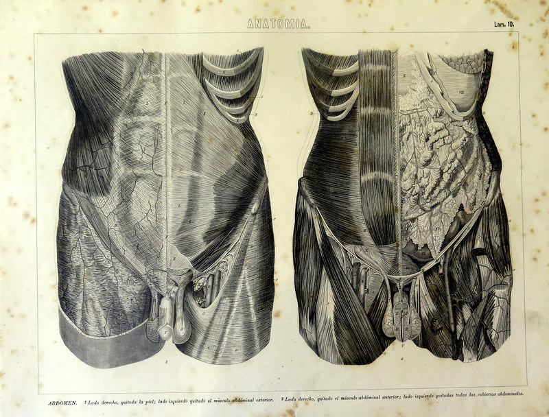 1859 antike menschliche Anatomie Druck Muskeln Bauch Gravur | Etsy