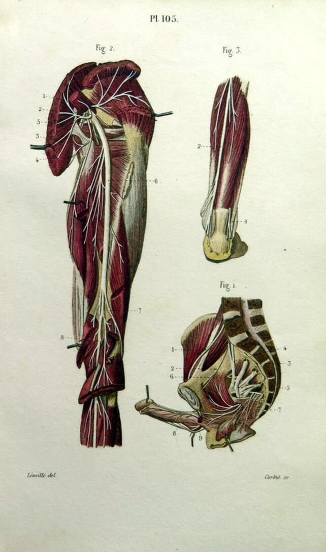 1852 antike Anatomie Farbdruck Jahrgang sakral Plexus und | Etsy