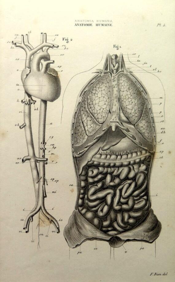 1852 antike menschliche Anatomie Kreislauf Atemwege