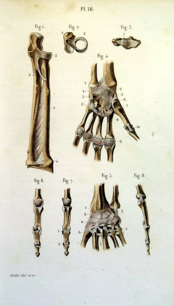 Anatomie Hand Knochen Gravur antike Bänder Gelenke zu