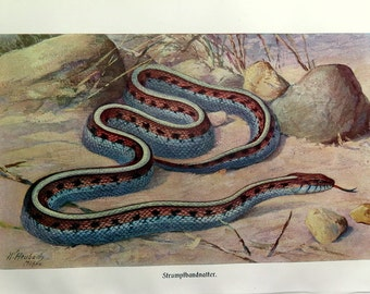 Amazing garter snake engraving, 1920 antique garden snake lithograph VINTAGE reptile print plate, Herpetology  North America snakes.