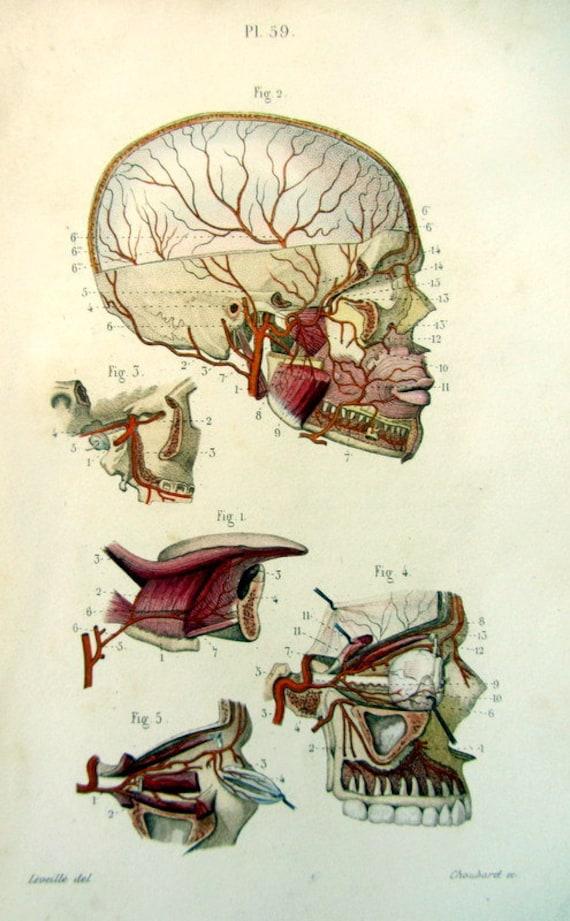 1852 Vintage Ader Kopf Anatomie Druck original antiken