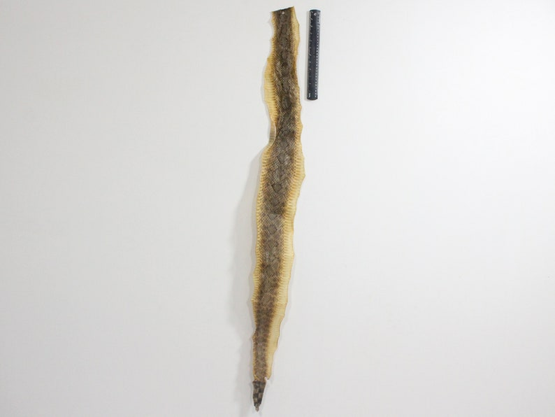 598-SRS-G2192 N Gallery Rattlesnake Skin WITHOUT rattle