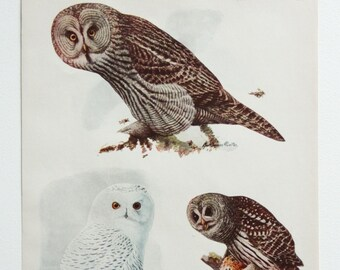 Vintage Print Owl Birds North America Color Book Illustration 1950s