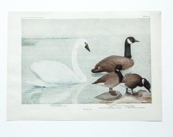 Vintage Print Birds North America- Swan Goose- Color Book Illustration - 1950s