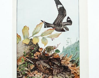 Vintage Print Birds North America- Night Hawk- Color Book Illustration - 1950s