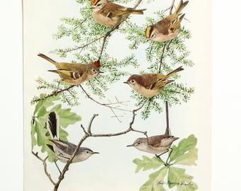 Vintage Print Birds North America  Color Book Illustration - 1950s