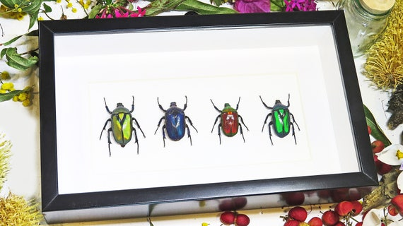 Taxidermy real jewel beetle collection framed entomology bugs | Etsy