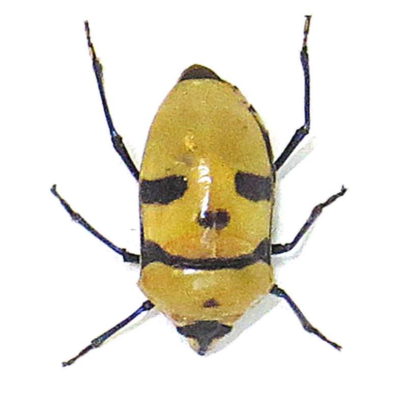 Death Head  bug  Eucorysses grandis  insect bugs beetles taxidermy gift BAEGR