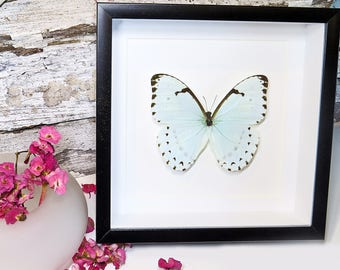Butterfly framed insect Morpho catenaria real butterfly shadowbox BJMCA
