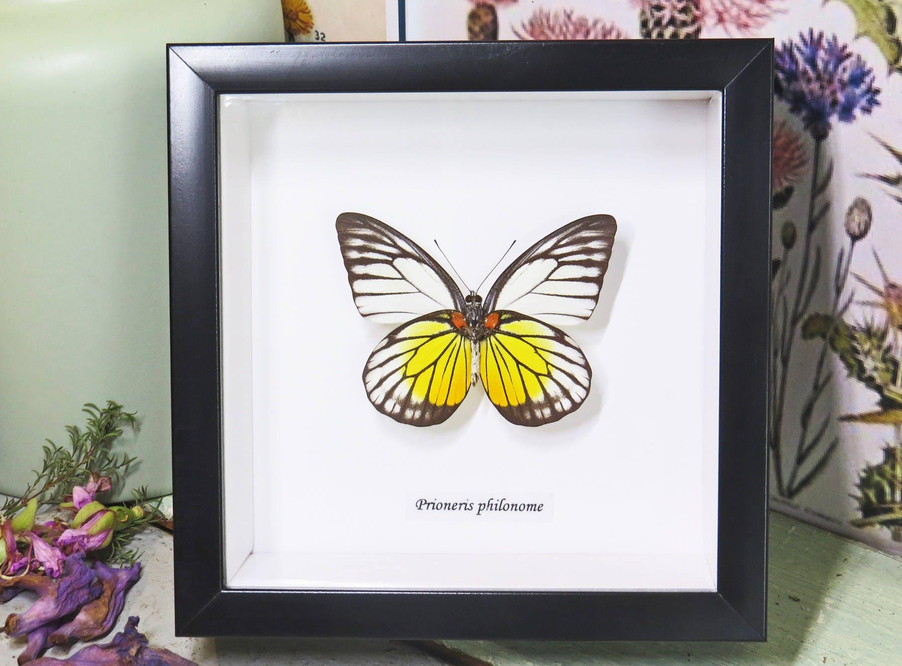 Schmetterling echte Präparatoren gerahmt Prioneris Philonome | Etsy