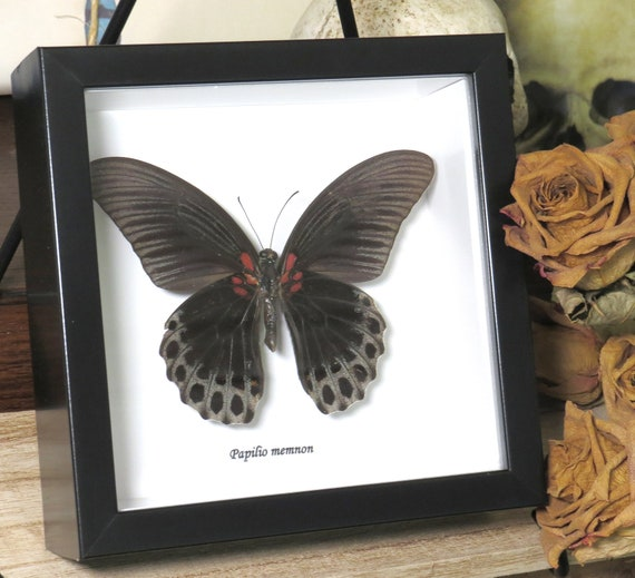 Green Butterfly collection for sale Papilio blumei double BNBB2