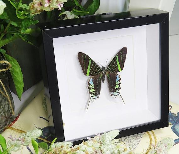 Entomologie Papillon Insecte Superbe Urania leilus A1 du Pérou!
