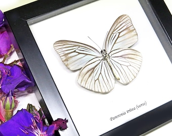 Butterfly real shadow box insect home wall decor collection Pareronia tritea BAPATRV