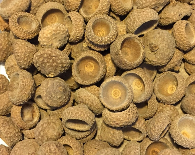 Hand Collected Acorn Caps
