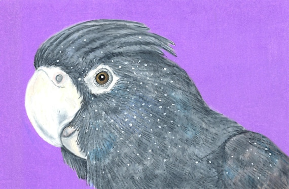 """Sally Blanchard signed original 6"""" x 9"""" Prismacolor Pencil drawing of a Red-tailed Black Cockatoo on acid free paper - one of a kind"""