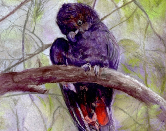 Beautiful pastel drawing of a Red-tailed Black Cockatoo from Australia